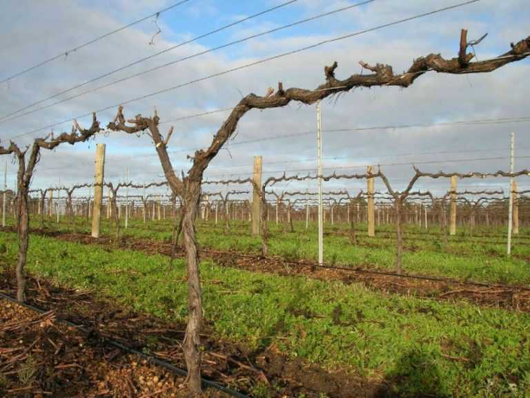декада августа виноград формирование куста фото общем, калининграде